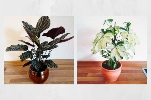 Calathea Ornata auch Korbmarante genannt und Schefflera arboricola auch kleine Strahlenaralie