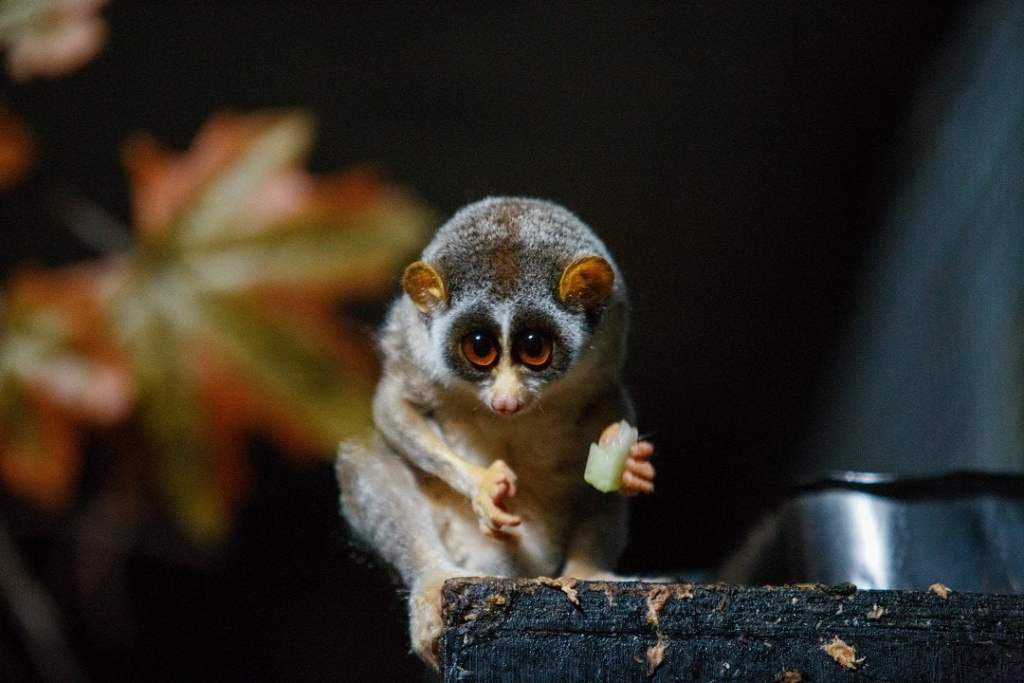 Loris, wildlife of Asia