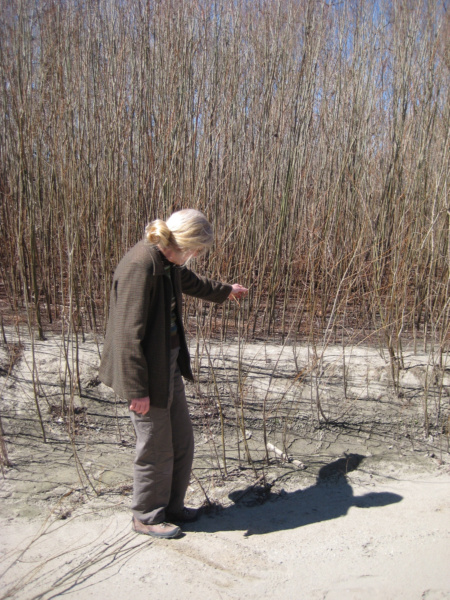 finding the right willow for weaving
