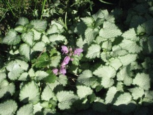 lamium from a plant exchange