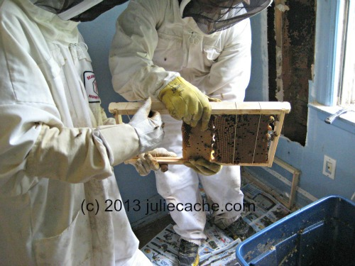 cutout honeybee removal hive