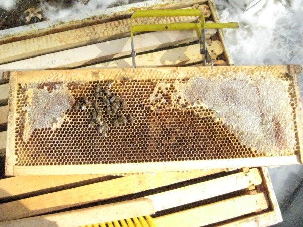 honeybees in winter