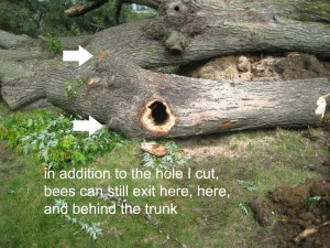 honey bee removal, bee tree, Iowa, Indianola, Waukee