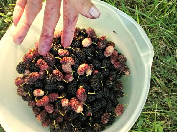 red and black mulberries
