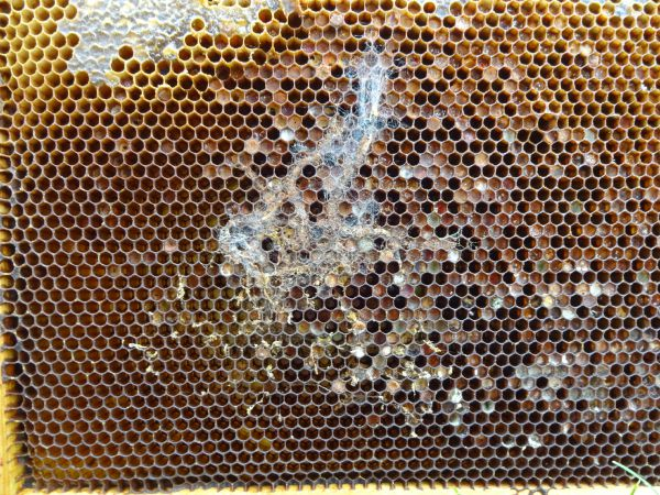 wax worms, bee hive, pest