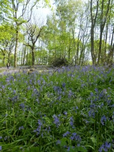 Bluebells at Eastling