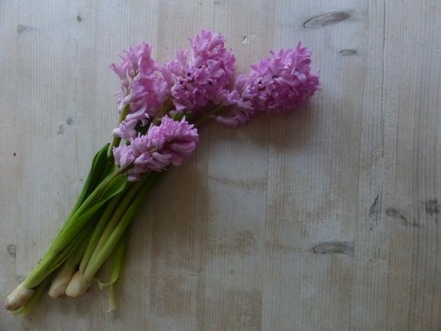 pink_hyacinth