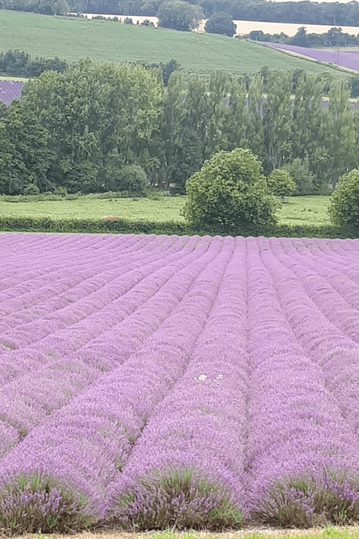 drying lavender