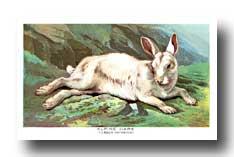 Alpine hare