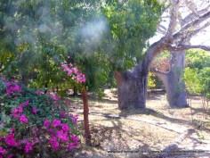 Baobabs in back plot