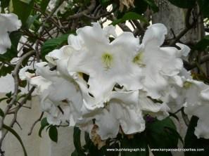 Baumontia flower