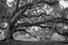 Live Oak Tree in Mandeville LA on a foggy morning
