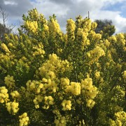 Wattle at Injidup, Leeuwin-Naturaliste National Park, WA