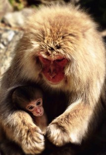 a Japanese snow monkey feeding its baby