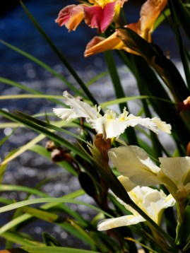 Mt Tomah's water flowers