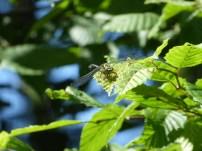 Small Pincertail/Kleine Zangenlibelle (Onychogomphus forcipatus)