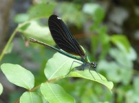 Beautiful Demoiselle/Blauflüglige Prachtlibelle (Calopteryx virgo festiva) female