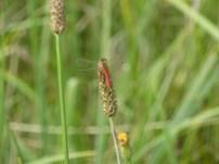 Spotted Darter/Sumpf Heidelibelle (Sympetrum depressiusculum)