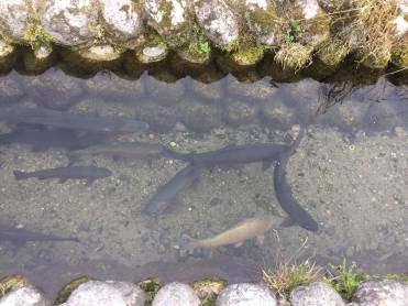 The clean canals are home to these common carp (koi in Japanese).