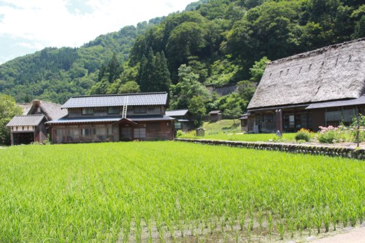 Rice fields surrounding the old houses.