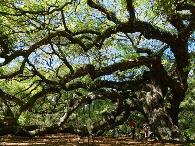 angel_oak_tree_johns_island