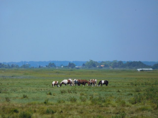 chincoteage_national_wildlife_refuge_1