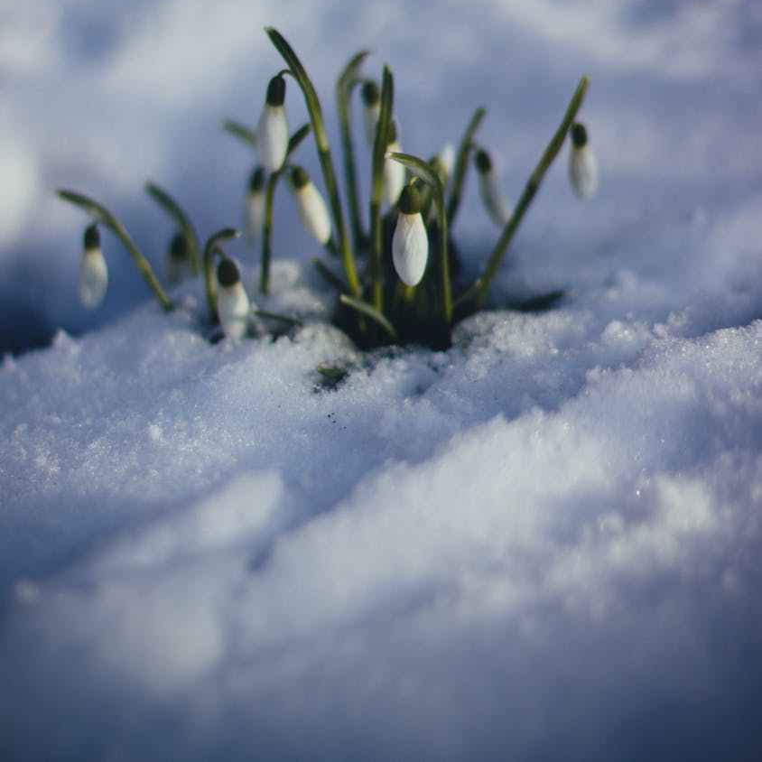 snow drop blooming through the snow
