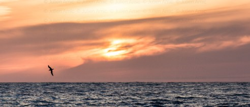 Puffin cendré au coucher de soleil