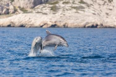 Grands dauphins, Tursiops truncatus, dans le Parc National des Calanques.