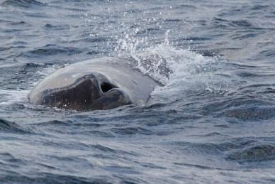 Narine de cachalot émergeant des flots, Méditerranée.