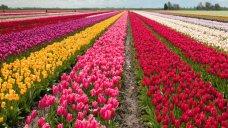 Tesselaar's Tulips
