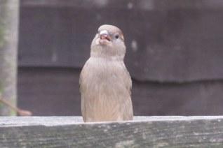 sparrow-005