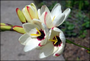 Ixia African Corn Lilly 1