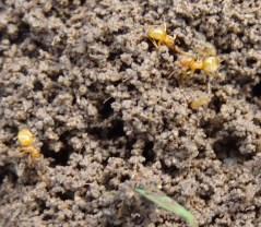 orange ants2