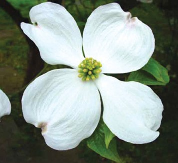 Dogwood - White