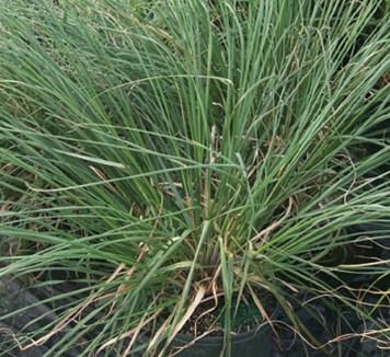 Grass - Dwarf Pampas