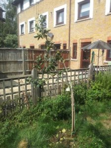 Small, young apple tree in small patch of grass in front of fence.