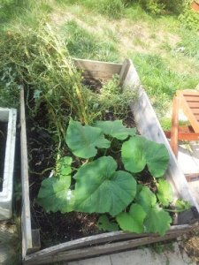 Raised bed with squash and chard that's gone to seed.