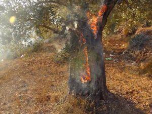 Zerstörung alter Olivenhaine in Palästina