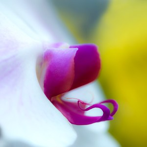 White Orchid with Purple Labellum