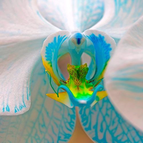White & Blue Orchid