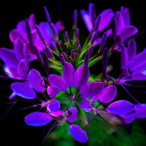 Purple Cleome