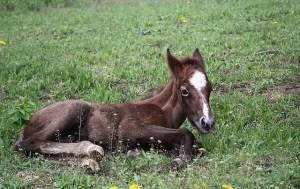 Конче лежи на тревата