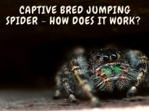 Captive Bred Jumping Spider