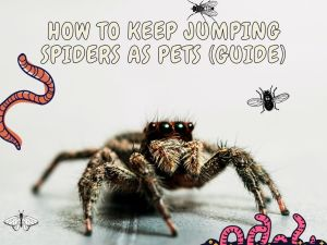 Jumping Spiders As Pets