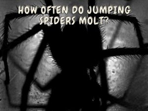 Jumping Spiders Molt