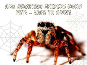 are jumping spiders good pets