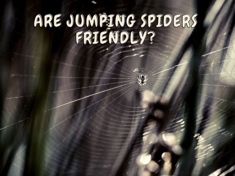 Are jumping Spiders Friendly