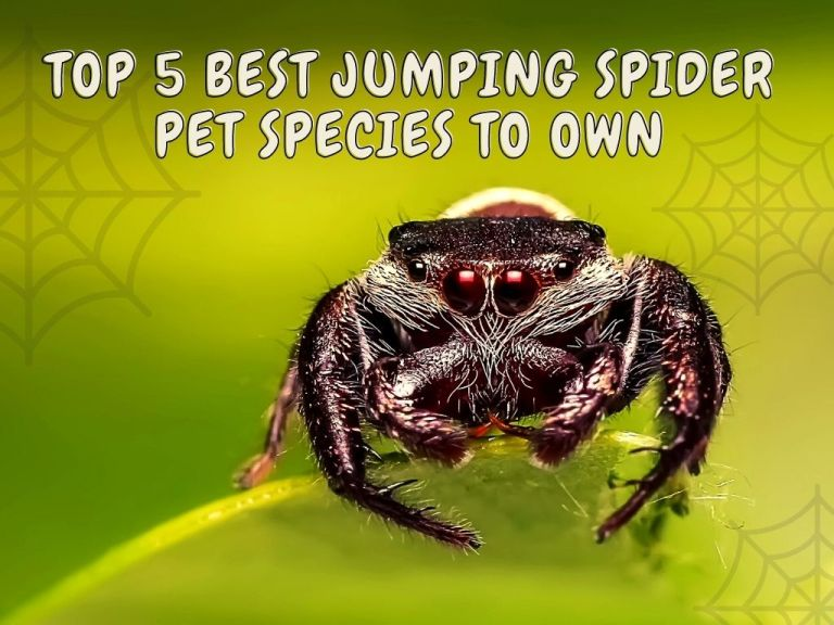 Jumping Spider Pet Species To Own