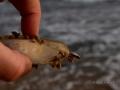 Nursery mollusk